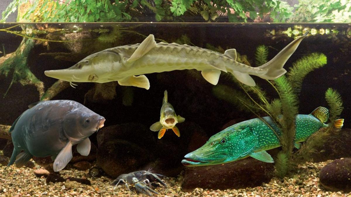 Aquarien-Bewohner imM Müritzeum