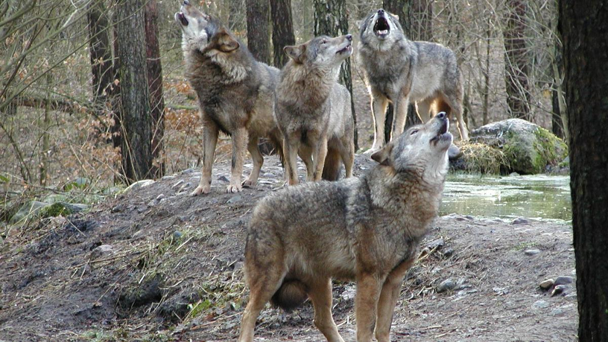 Zu Besuch beim Wolfsrudel