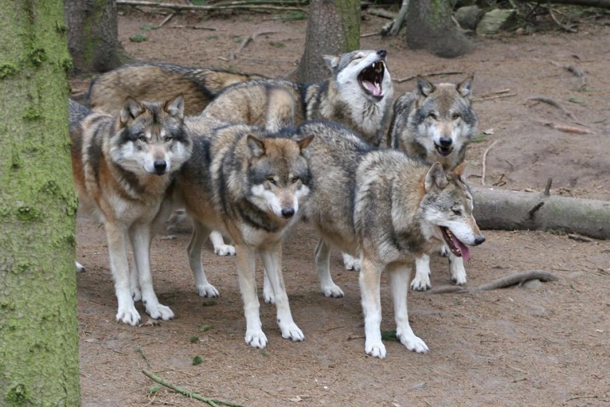 Auf Wolfstour im Wildpark-MV