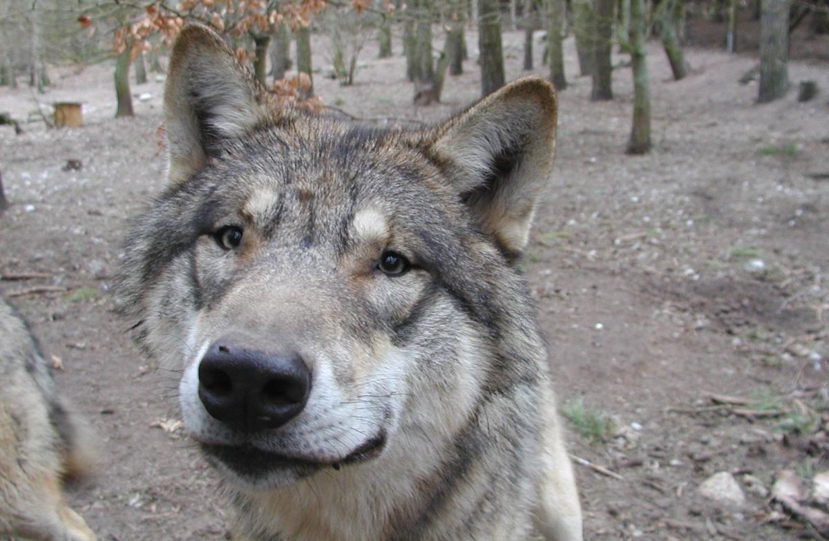 Wolf im Wildpark-MV